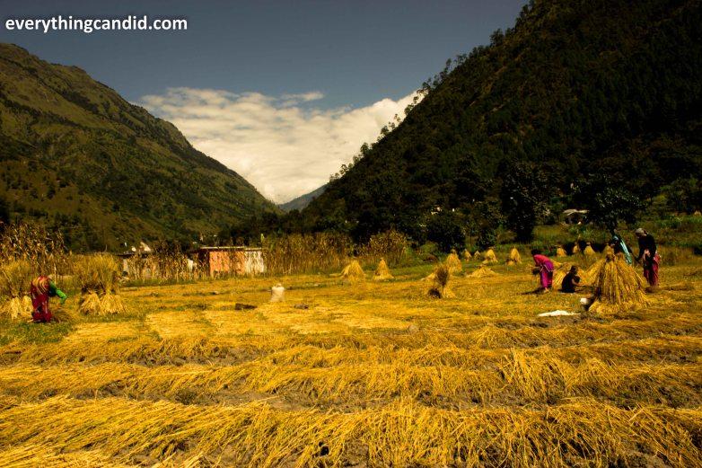 Jauljibi, Dharchula, Munsiyari, Madkot, Unexplored Route, Unseen Places, Uttaranchal, uttarakhand, Self Drive, india, Road Trip, Kali River, Maha Kali River, Gauri River, Gauriganga River, Panchkuli, Himalaya, Landscape, Paddy Cultivation